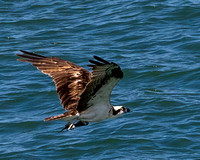 Osprey - Port Canaveral